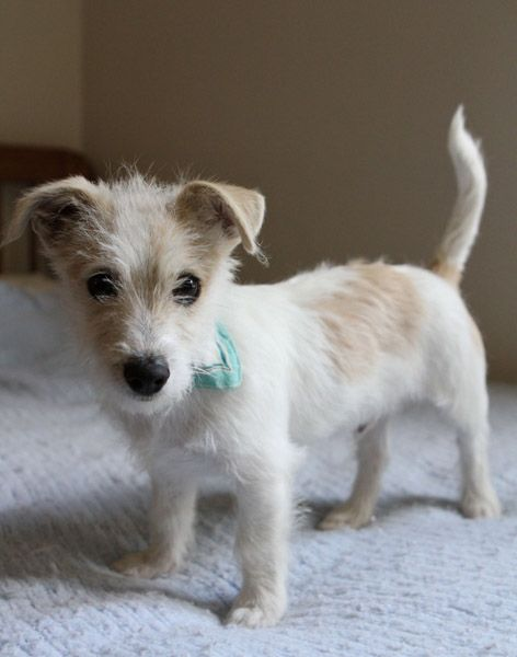 Pin By Mags Parker On My Kinda Dog In 2020 Terrier Puppy Puppy Mix Jack Russell