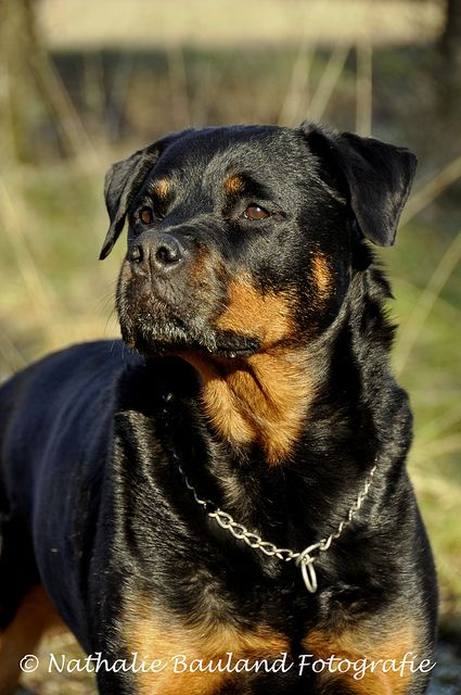 I Watched Two Big Rottweilers While Petsitting Who Were Nothing