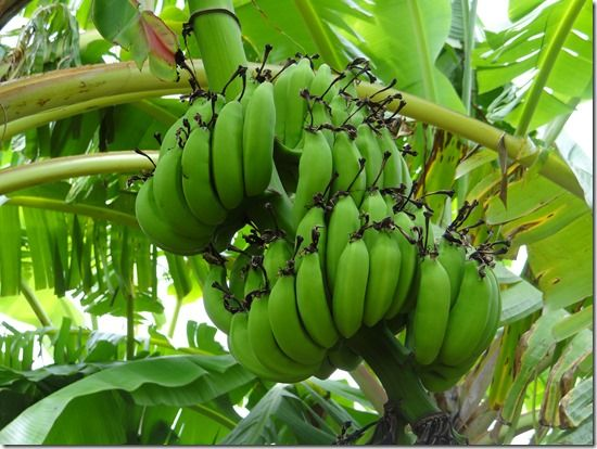 Surviving a Plantain Allergy in the Tropics