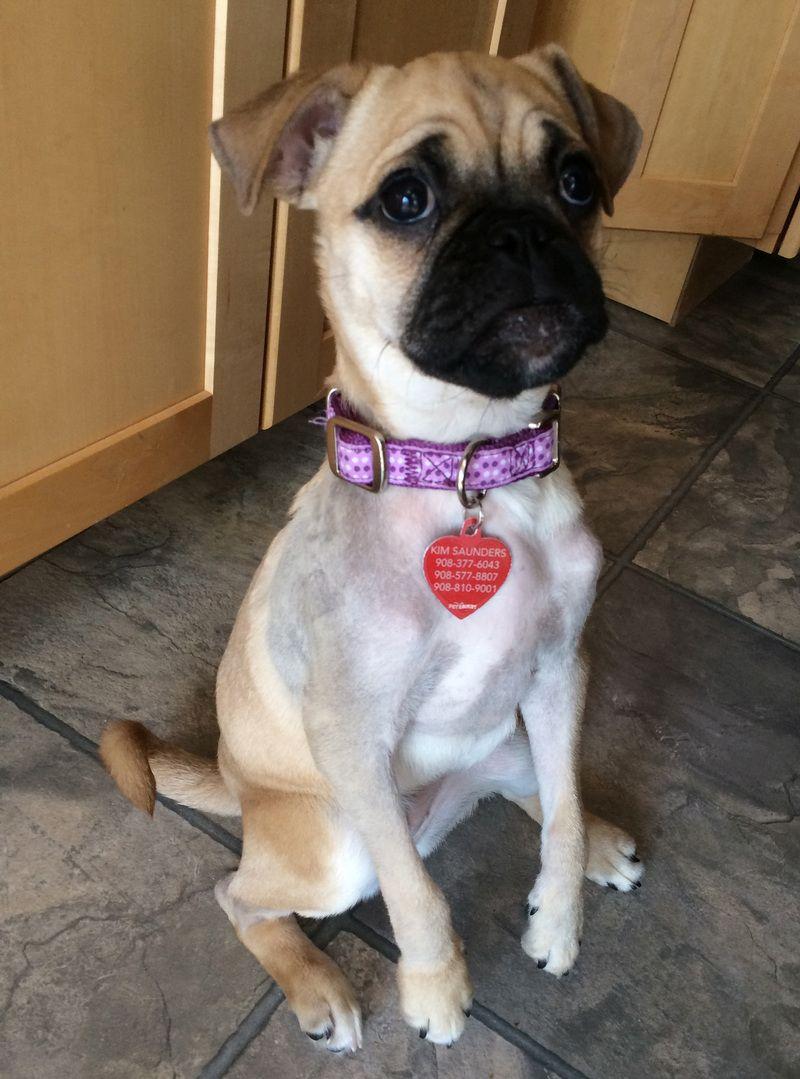 Adopt Zira 4 6 14 On Adoption Pug Beagle Mix Cute Animals