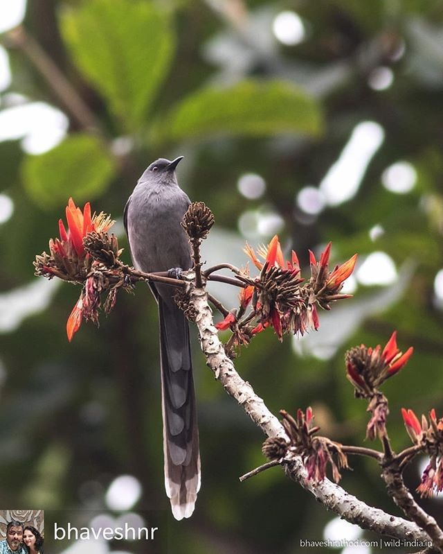 Regrann from @bhaveshnr - Long-tailed Sibia (Heterophasia ...