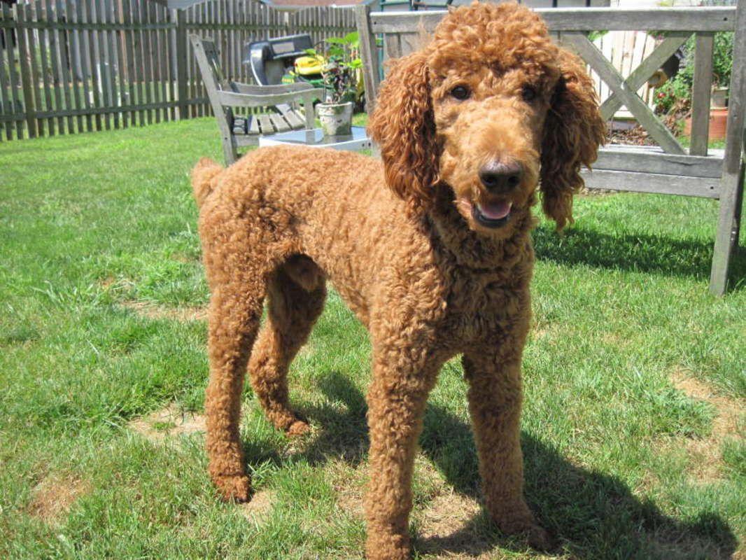 Red Standard Poodle For Stud Service Standard Poodle Poodle Red