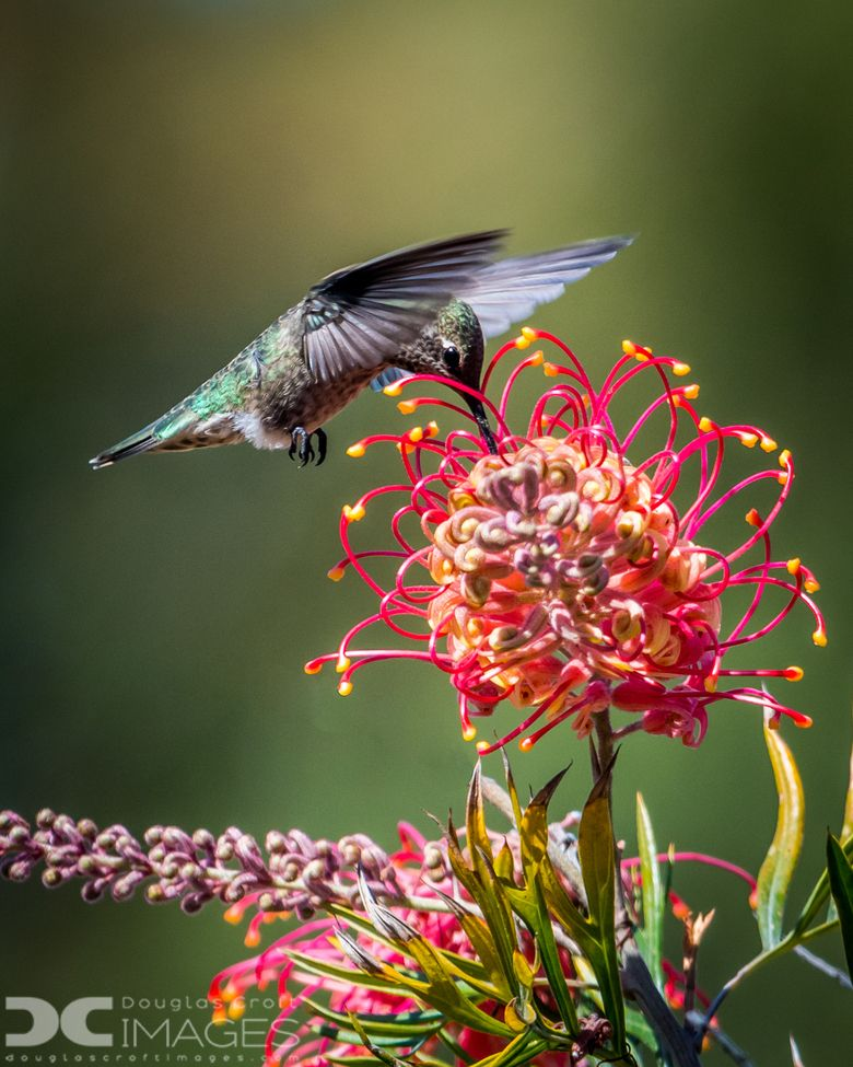 California Annas hummingbird, Hummingbird, Wildlife