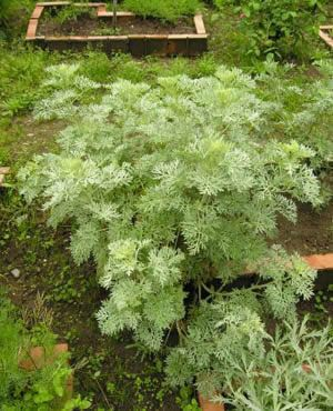 Wormwood: A tall drought-tolerant perennial with lacy gray leaves, striking in the garden or in bouquets. Excellent with deep-rooted shrubs like roses or around the edges of the garden, since it repels insects, deer, and burrowing animals like gophers, but contains a growth inhibitor that can stunt vegetables. Easy to grow from seed, accepts most soils, and needs little care once established.  Medicinal: bitter digestive tonic, anti-parasitic. Source of the now-outlawed liqueur absinthe.