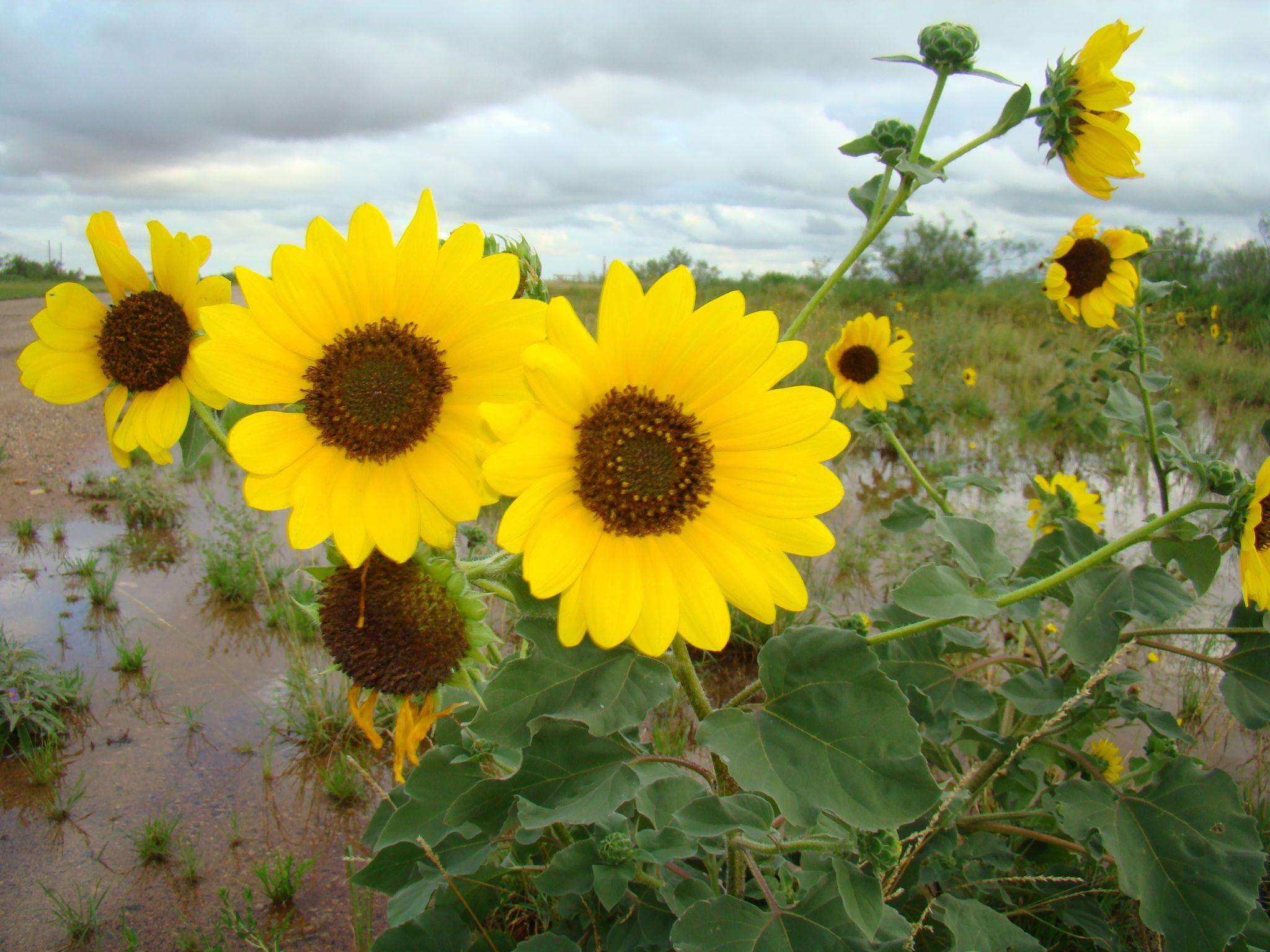 Sunflowers Plants Garden