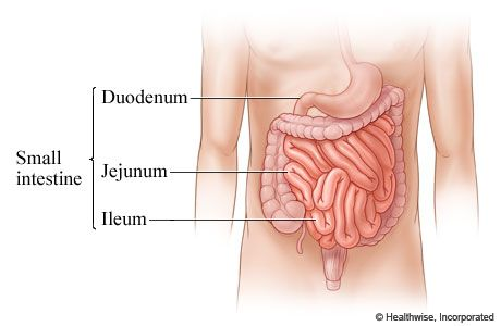The Intestines Human Anatomy Picture Function Location Parts