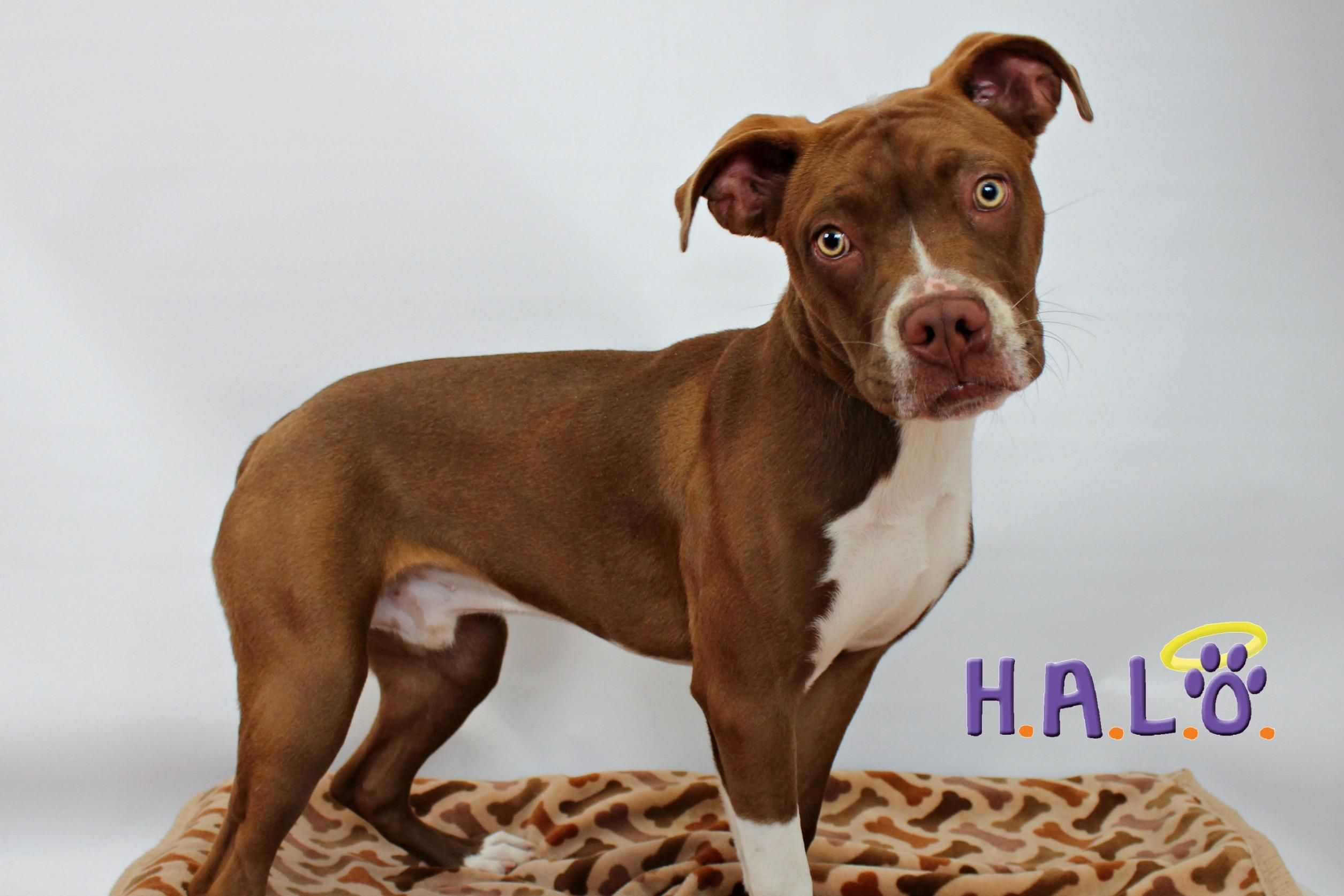 Adopt Major on Boston terrier boxer mix, Boston terrier