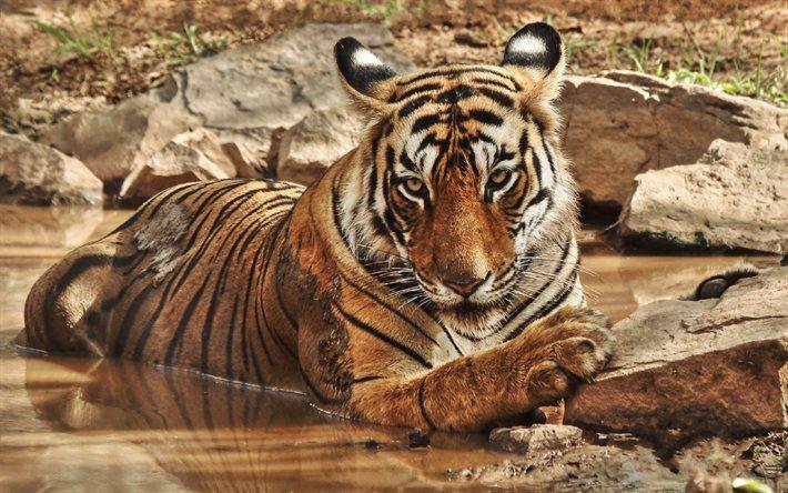 Lataa kuva Tiger, river, wildlife, predator, Aasiassa, villi kissa