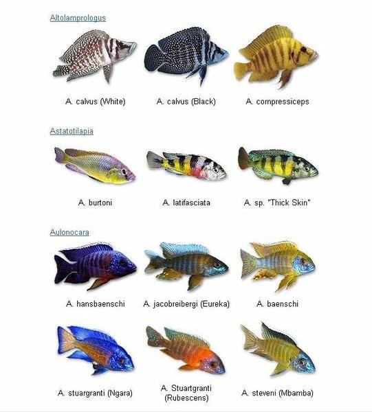 Cichlid google 39 da ara cichlid fish pinterest fish for African freshwater fish