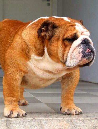 Shoulders Neck Mug Handsome Lad Bulldog English Bulldog