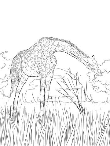 West African Giraffe Coloring page   I want to color   Pinterest