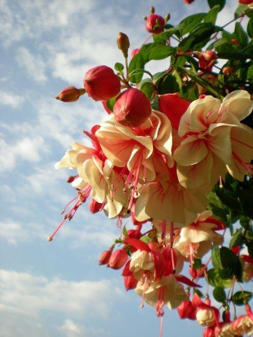 Fuchsia Flower Garden Plants Fuchsia Flowers Fuchsia Seeds