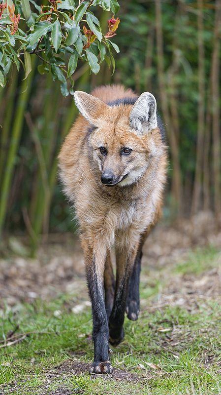El aguará guazú (del guaraní aguará guazú, 'zorro grande') o lobo de crin (Chrysocyon brachyurus) no forma manadas en ningún momento del año. Alrededor del año de edad madura sexualmente; un año más tarde forma una pareja estable; no caza ni duerme en común, pero ocasionalmente ocupan el mismo cubil. La pareja habita en un territorio común, al que defiende de las incursiones de otros cánidos, de hasta 25 km². Son fuertemente territoriales.