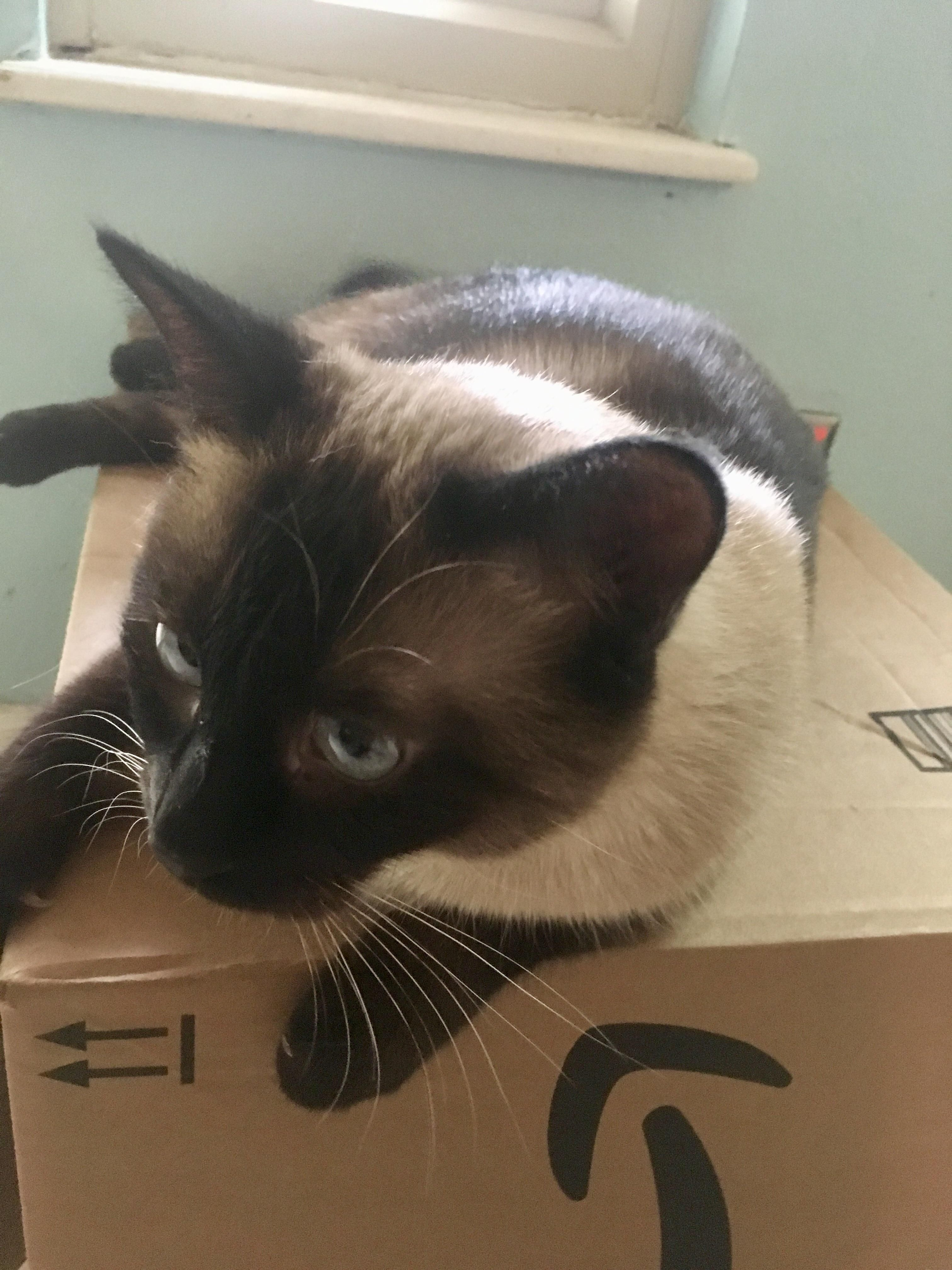 Siamese Cat King Of Boxes Hello There Bright People Are You Siamese Cats I Love Cats Cats
