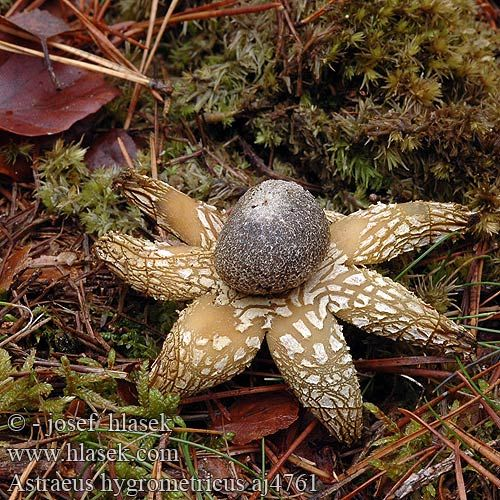 """Earth Star"" - being a horror writer I can easily imagine this crawling off in the night looking for a host for its young ~;^)>"