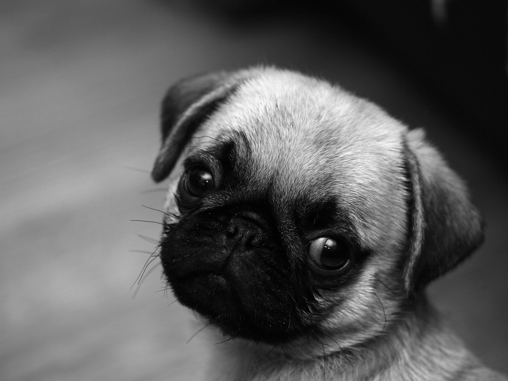 Cute Pug Puppy Wallpaper Screensaver Background Cute Pugs