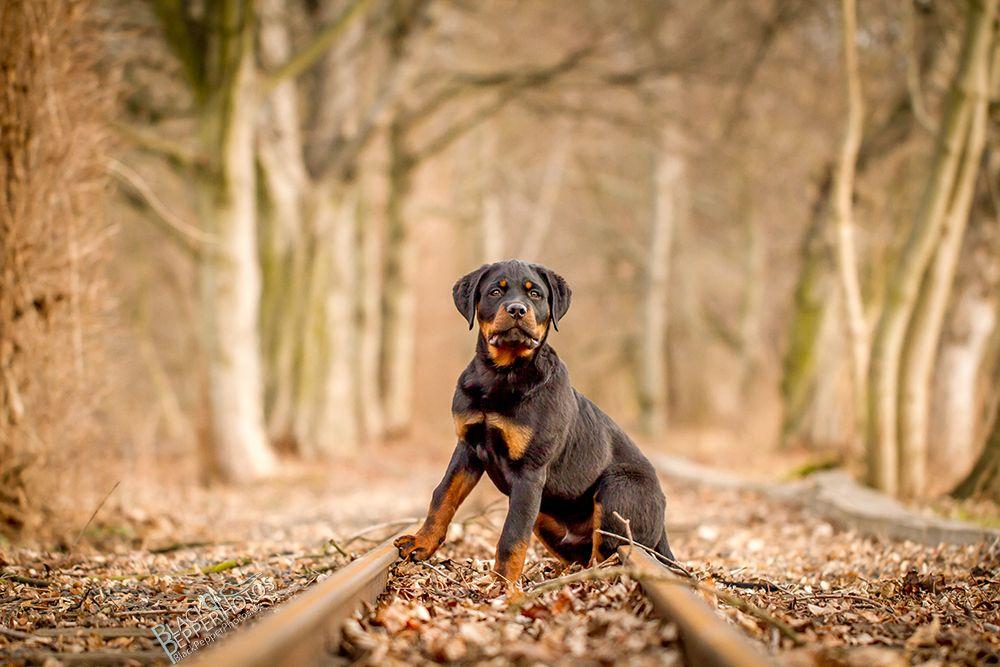 Bella Female Akc Rottweiler Puppy For Sale In Shipshewana