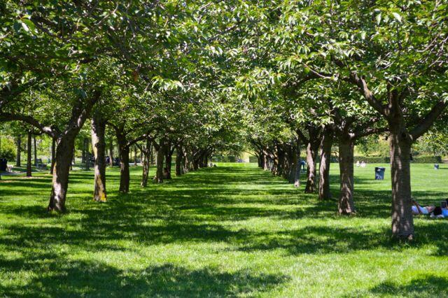 Kirschbäume Botanischer Garten Brooklyn