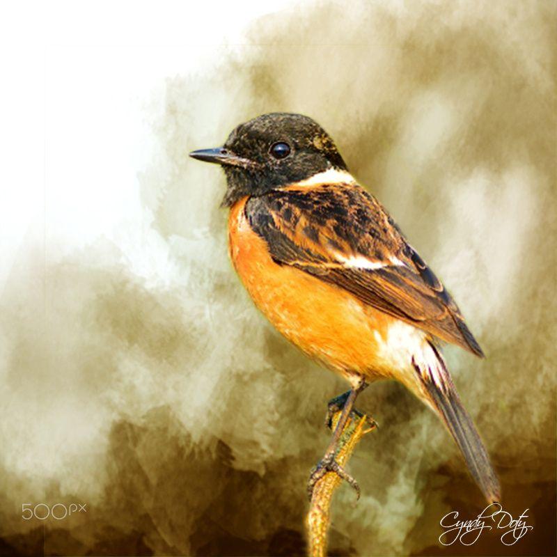Stonechat Bird - Bird image courtesy of thawats @FreeDigitalPhotos.net, Texture…