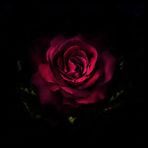 Magenta Rose Via Renee Bartleet A Rose Is A Rose Iphone 6 Flower Wallpaper Flower Wallpaper Red Roses