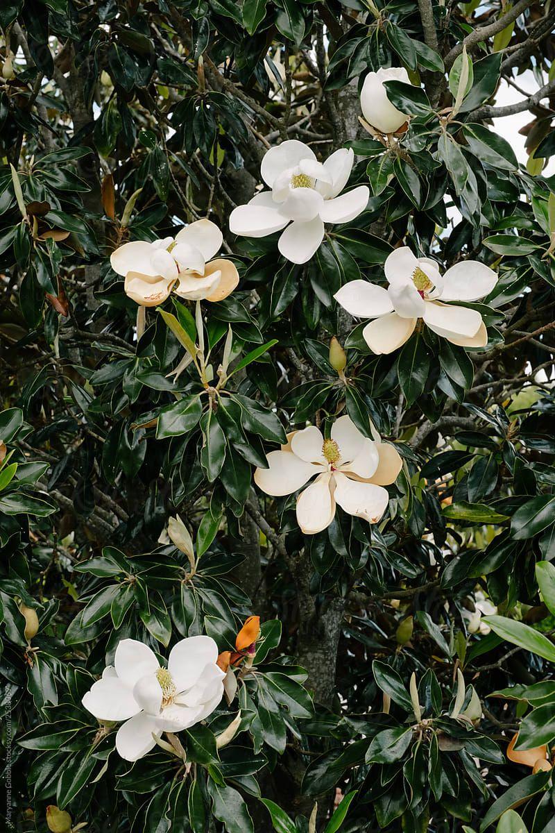 Magnolias White Magnolia Tree Magnolia Trees White Gardens