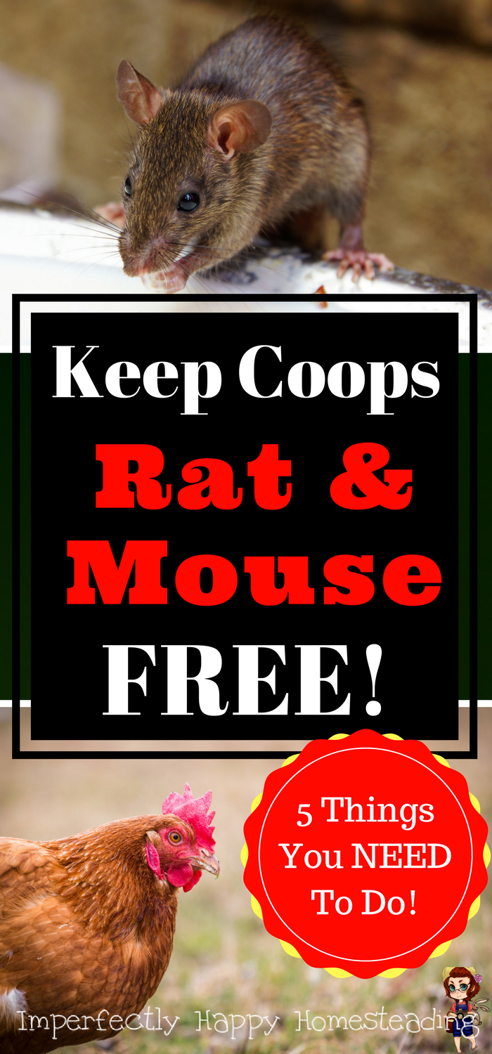 keep your chicken coop free from rats and mice no rodents in the