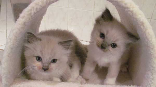 Ragdoll Kittens For Sale Houston Texas Kitten For Sale Ragdoll Cats For Sale Ragdoll Kitten