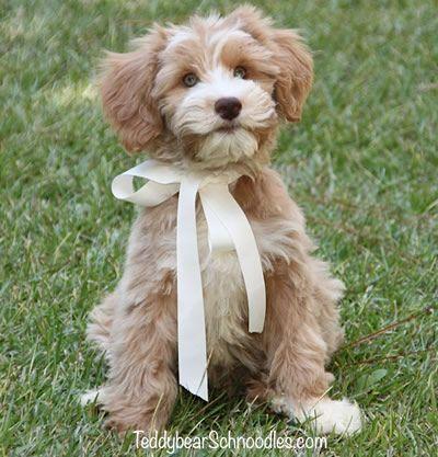 Smeraglia's Teddy Bear Schnoodles Schnoodle dog