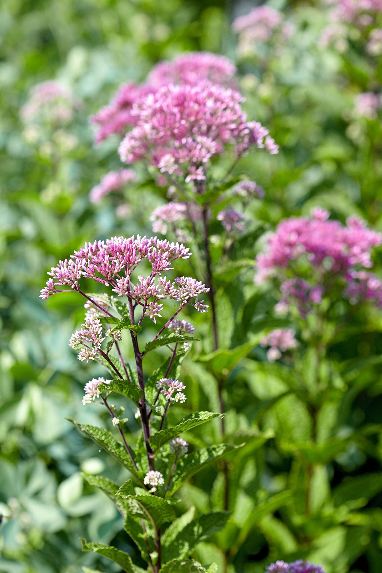 A big, bold native perennial, Joe Pye weed will quickly fill sunny spots in your landscape. It's a reliable fall bloomer, developing rounded heads of pinkish purple flowers that will attract scores of colorful butterflies. #gardening #gardenideas #perennialtips #perennialflowers #perennialgarden #easytogrow #bhg