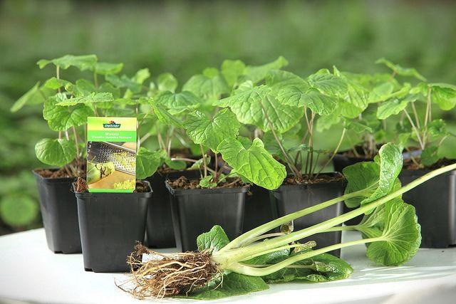 Wasabi Kleinepflanzen C Dehner Garten Center Herbs Hydroponic Plants Wasabi