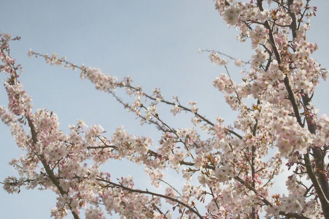 Blossom Flower Sky And Cherry Blossom Hd Photo By Tom Fletcher Jones Tfletcherjones On Unspl Cherry Blossom Festival White Cherry Blossom Cherry Blossom