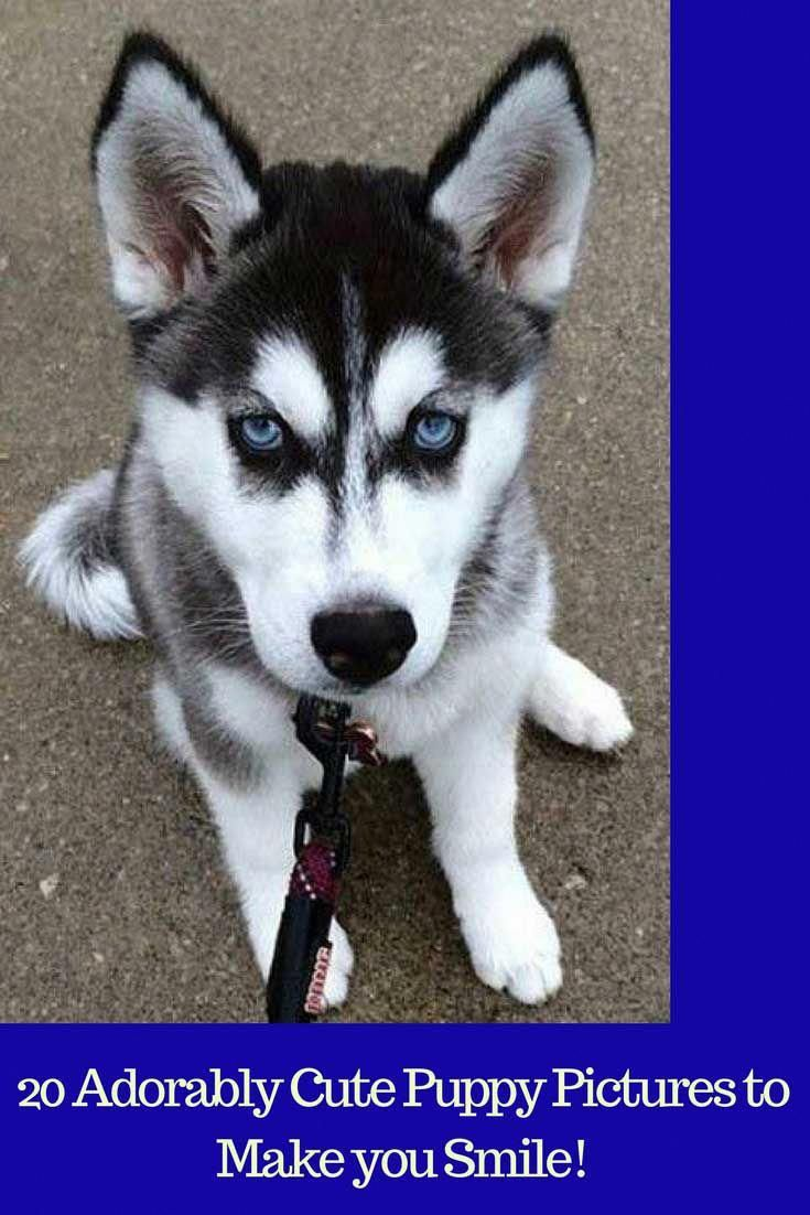 Husky Puppy Chilling Out Puppy Doglover Cute Barkinglaughs