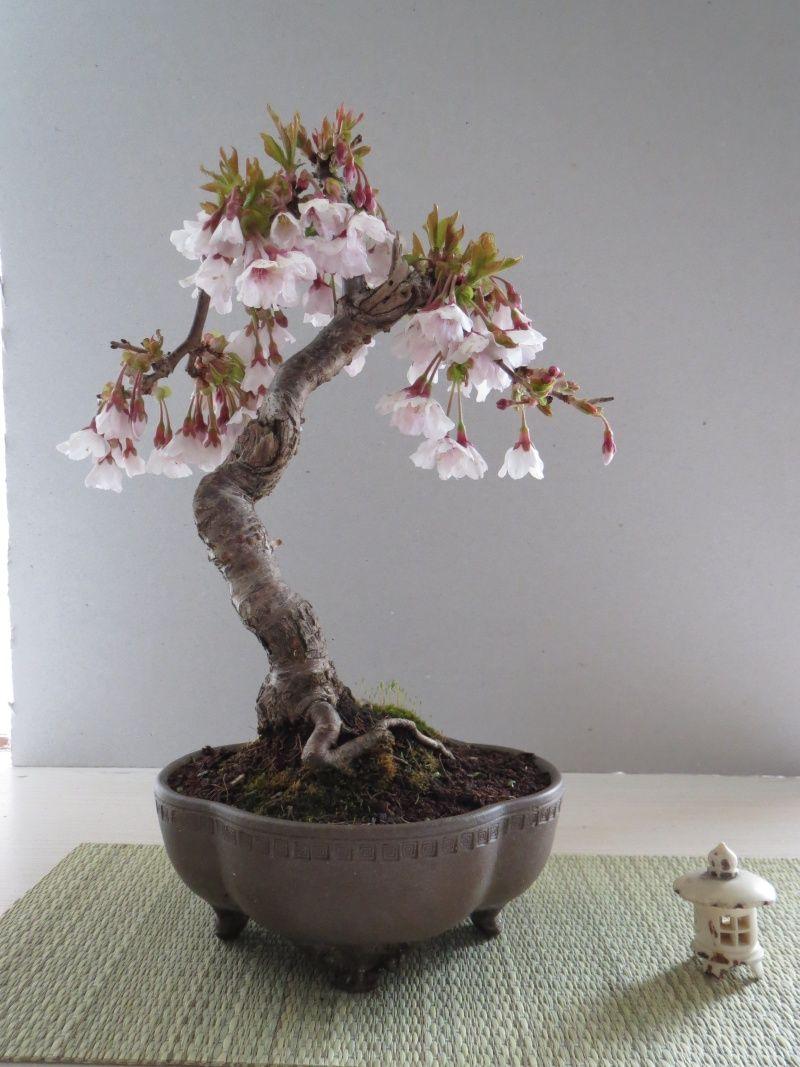 Prunus Question Japanese Bonsai Bonsai Flower Bonsai Tree