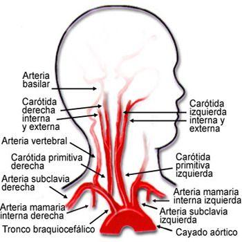Corazon Arterias Miocardio Nueva Medicina Germanica NMG Hamer Leyes ...