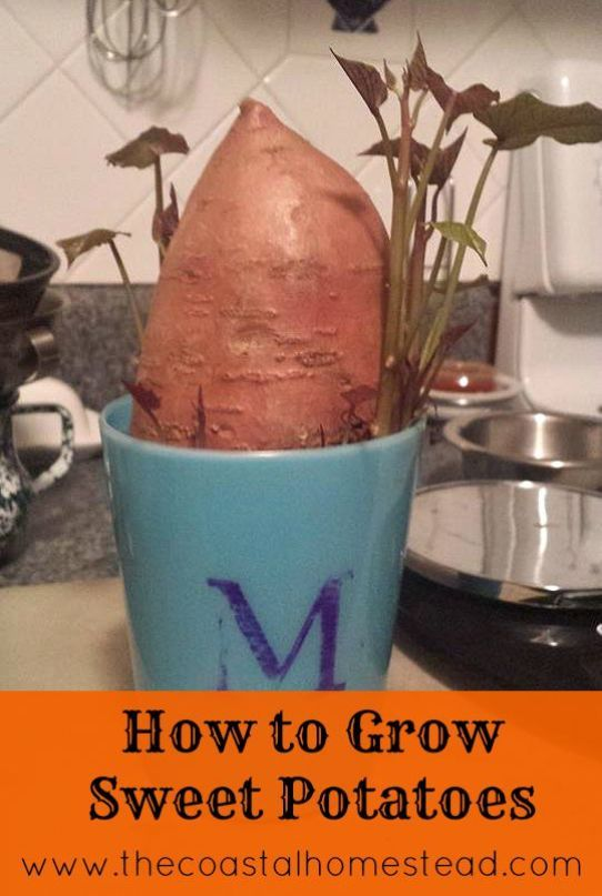 How To Grow Sweet Potatoes In 5 Easy Steps! #howtogrowvegetables