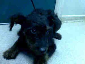 A328204 is an adoptable Lakeland Terrier Dog in Pasadena, CA