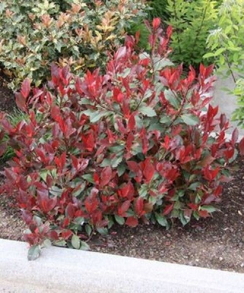 Photinia Little Red Robin Smaller Variety There Is A