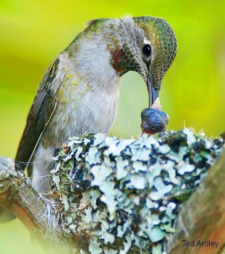 Anna's Hummingbird feeding nestling, via Rocky Point Bird Observatory
