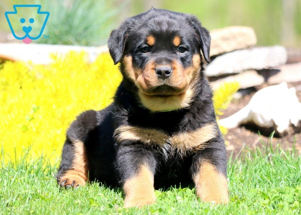 Danny Rottweiler Puppies For Sale Rottweiler Puppies Puppies