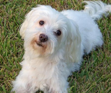 Maltese Dogs Full Grown Maltese Dogs Dogs Cute Dogs