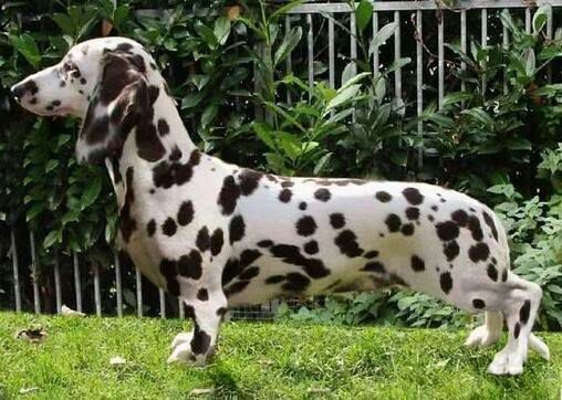 Pin By Carmen Scheepers On Doxies Dogs Piebald Dachshund
