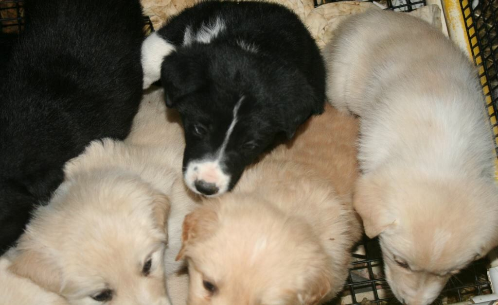 Golden Retriever Mix Puppies For Adoption Coming Soon