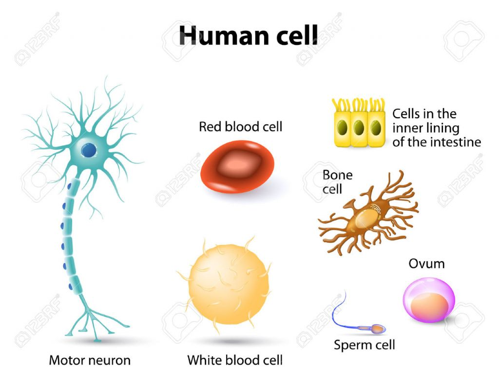 HUMAN CELL SPECTRUM: NAMES & VISUALS. Anatomy Of White Blood Cells ...