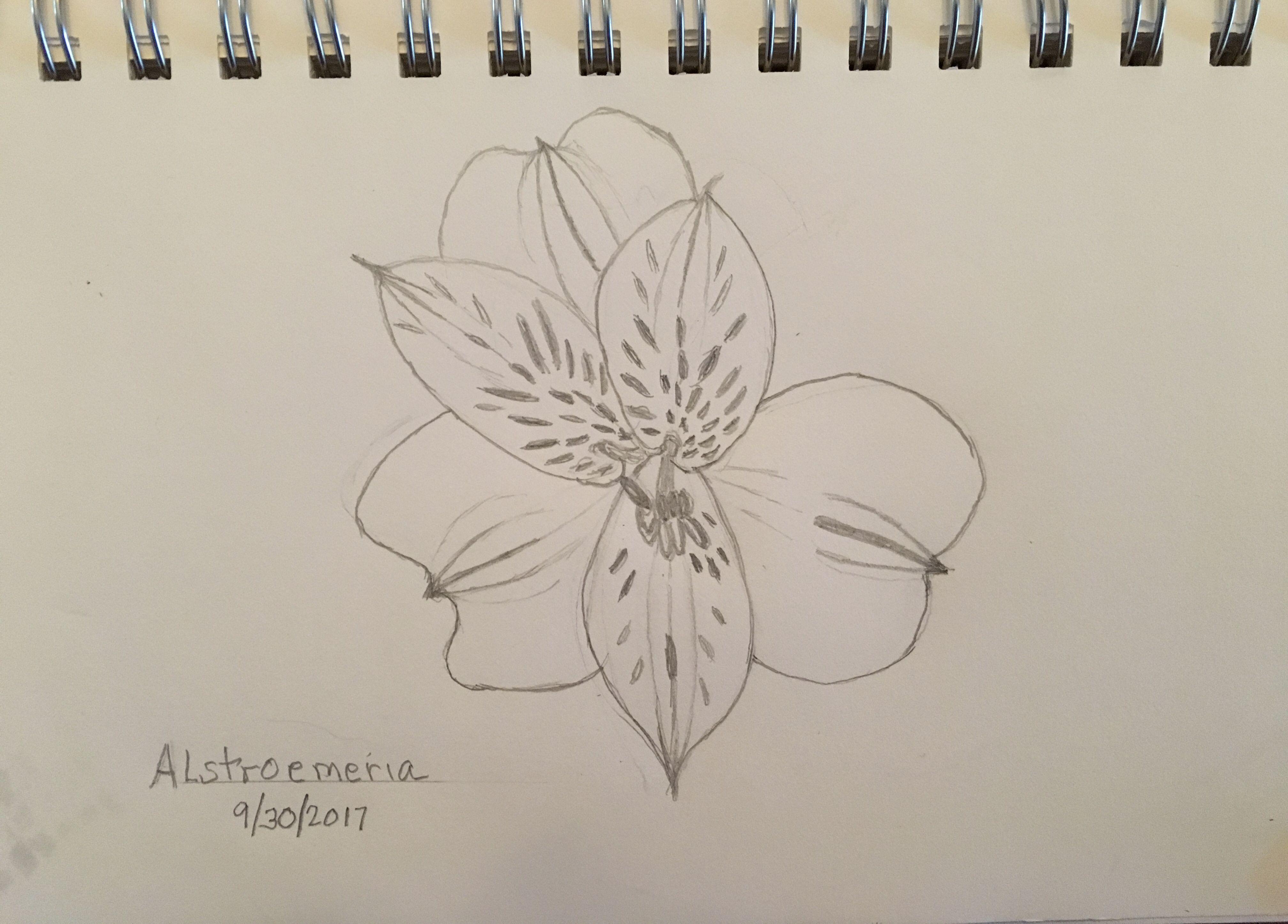 Alstroemeria In Pencil Flower Drawing Pencil Drawings Drawings