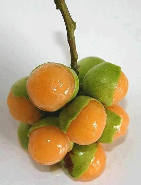 Ginnip fruit