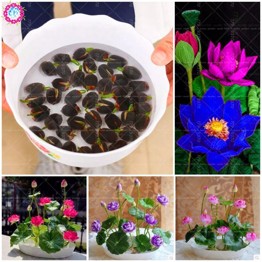 Cheap Bonsai Buy Directly From China Suppliers5pcs Lotus Lotus