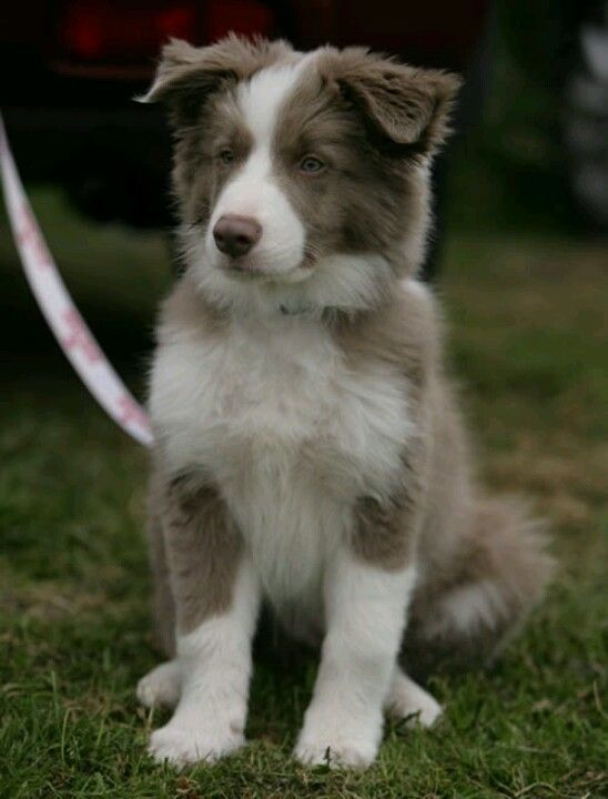 In Looove Border Collie Puppies Collie Puppies Dogs