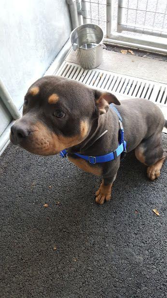 Rottweiler Pitbull Mix Pitbull Terrier Pitbull Mix Puppies