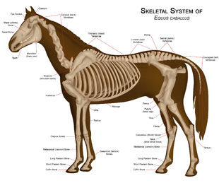Diagram of a horse skeleton with major parts labeled dream barn diagram of a horse skeleton with major parts labeled ccuart Gallery