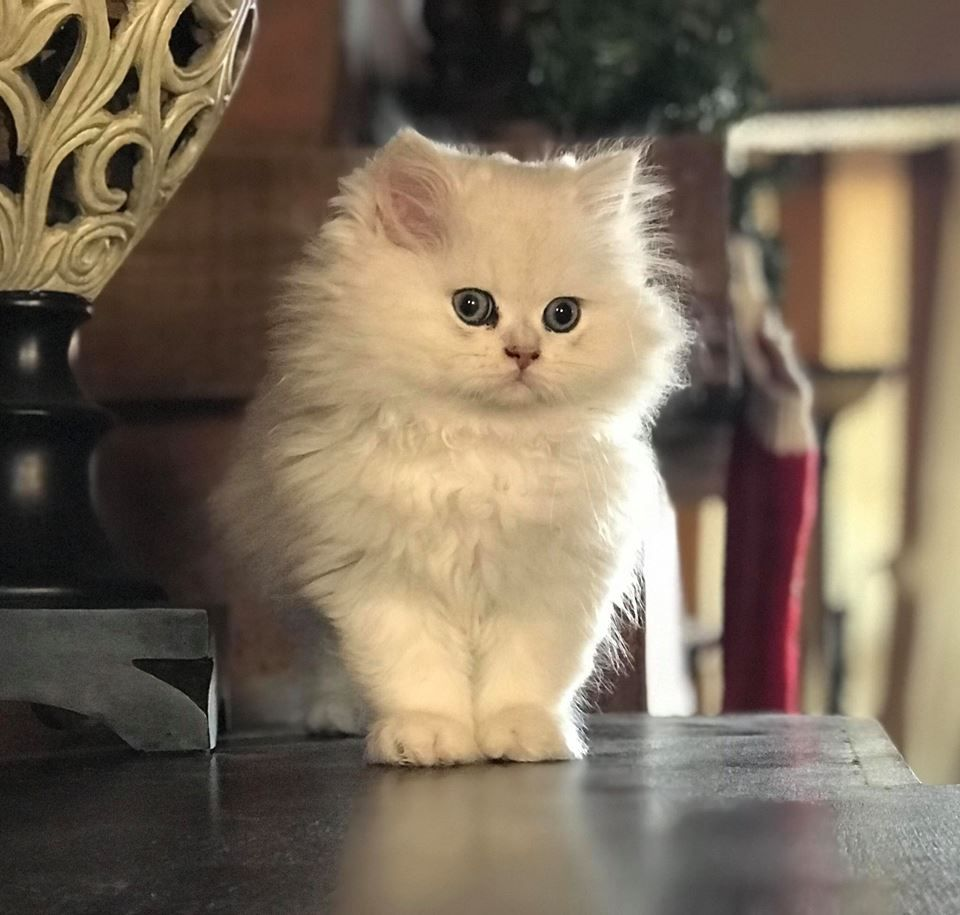 Primapersian Toulouse 10 Weeks Old Cats Cat Pics Cats And Kittens
